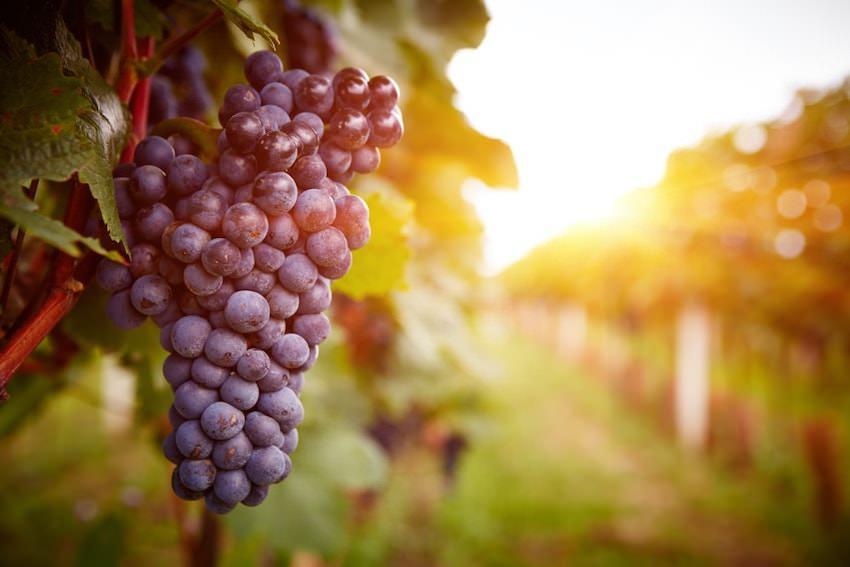 主な輸入ワインの品種